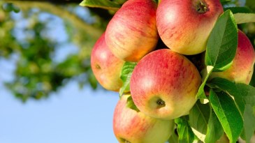 Apple-tree-widescreen-hd-wallpapers-free-download-apple-images